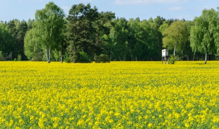 Box stand at a birch in a rapeseed field in spring Stock Photo