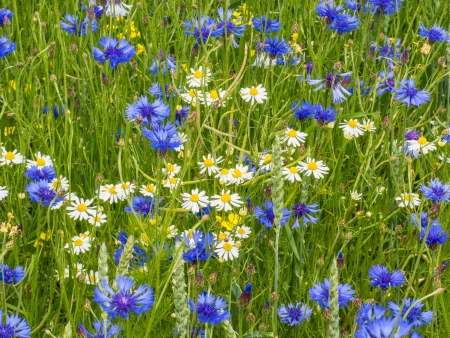 bachelor s button: Cornflowers and marguerites in spring Stock Photo