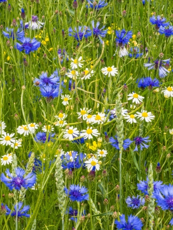 pedicel: Cornflowers and marguerites in spring Stock Photo