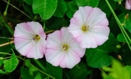 arvensis: Flowers of field bindweed, Convolvulus arvensis, in summer