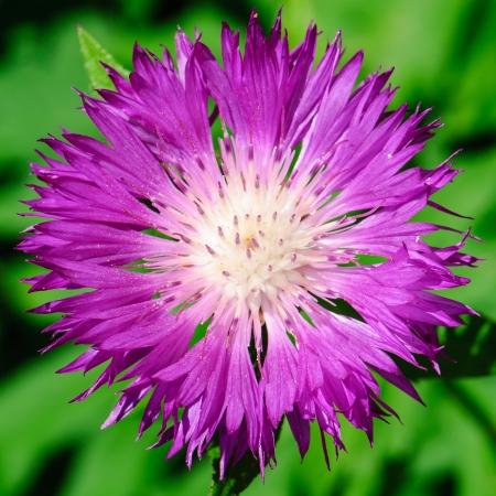 pedicel: Flower of the Whitewash Cornflower in spring, Centaurea dealbata