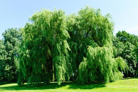 Treurwilgen, Salix alba Tristis, in de zomer