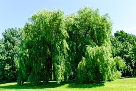 willow tree: Weeping willows, Salix alba Tristis, in summer