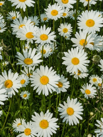 Meadow with marguerites in spring, Leucanthemum vulgare photo