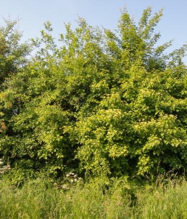 Hedge mit Roter Hartriegel, Cornus sanguinea Standard-Bild - 20833833