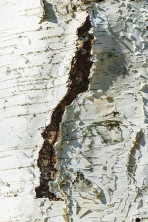betula: Cracks in the bark of a birch, Betula Stock Photo