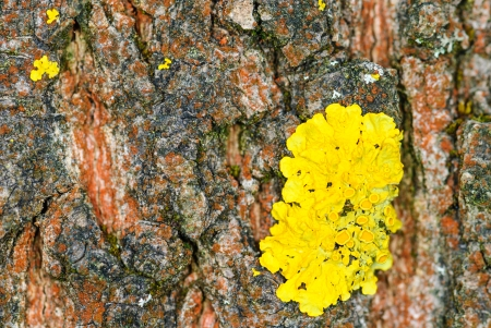 photosynthetic: Common orange lichen, Xanthoria parietina, on the bark of a pine Stock Photo