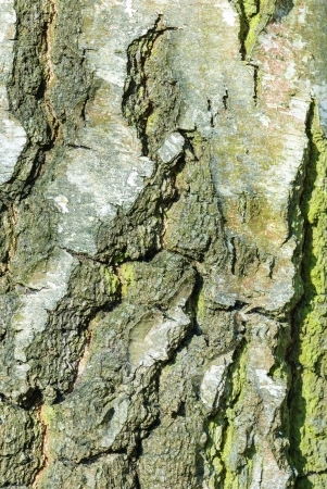 betula: Bark of a birch, Betula