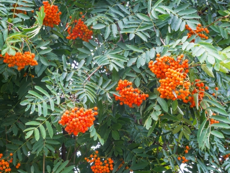 sorbus aucuparia: Twigs of Rowan, Sorbus aucuparia, with fruits in summer