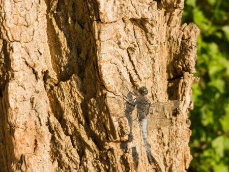 libellulidae: Black-tailed Skimmer, Orthetrum cancellatum, on a tree in evening sun Stock Photo