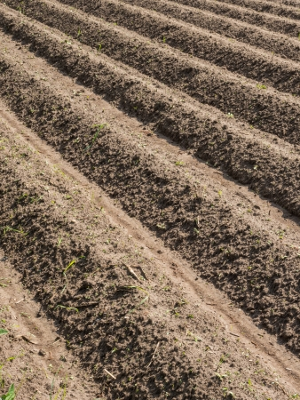 potato field: Potato field with plowed rows in the spring Stock Photo