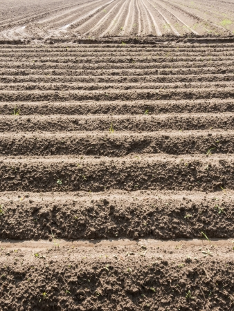furrow: Potato field with plowed rows in the spring Stock Photo