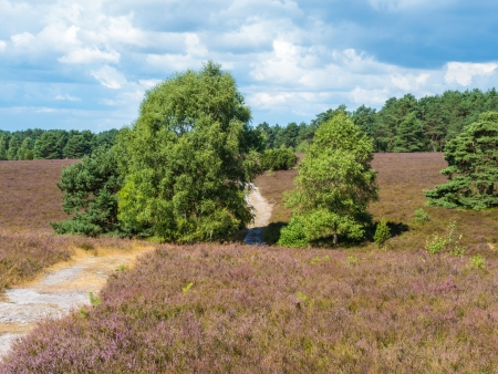 heathland: Hiking trail in the heathland of the Lueneburg Heath Stock Photo