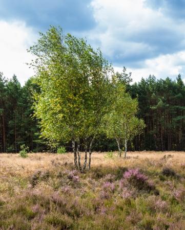 pinaceae: Birches in the heathland of the Lueneburg Heath