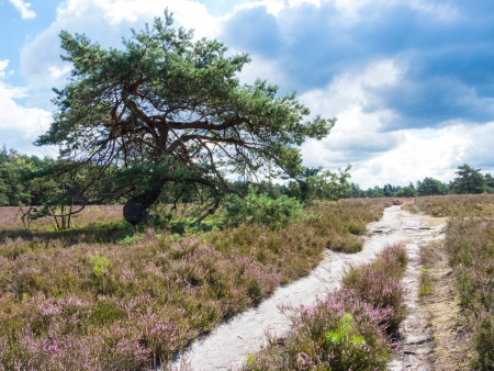 pinaceae: Pine at a hiking trail in the heathland of the Lueneburg Heath