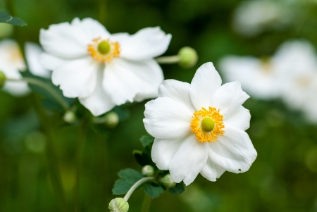 Anemone japonica Honorine Jobert flowers photo