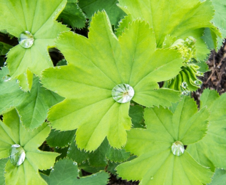 alchemilla: Leaves of Common Lady