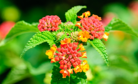 lantana camara: Flowers of common lantana, Lantana Camara Stock Photo