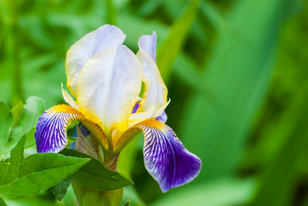 Flower of German Iris in spring, Iris germanica photo