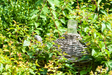 carboy: Carboy with wickerwork in a bedding between shrubs