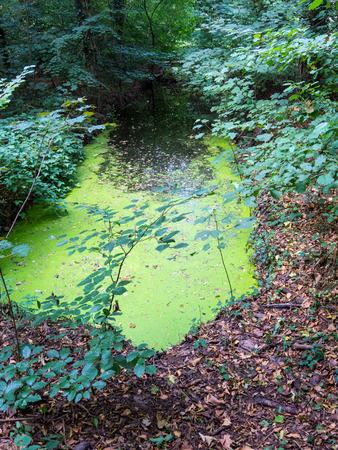 duckweed: Pond covered with duckweed, Lemnoideae Stock Photo