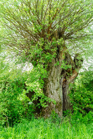 salix alba: Knotted willow in a hedge in spring