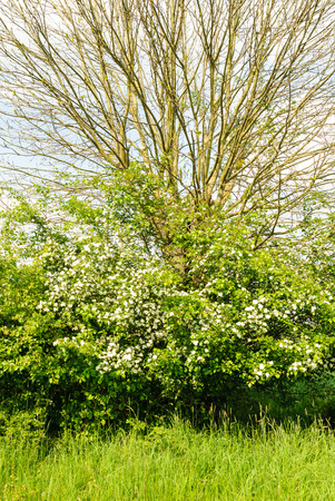 salix alba: Pollard willow and hawthorn in a hedgerow in the Wesermarsch