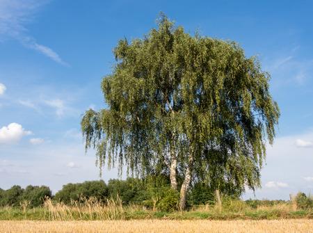 betula pendula: Birch at a stubble field in summer