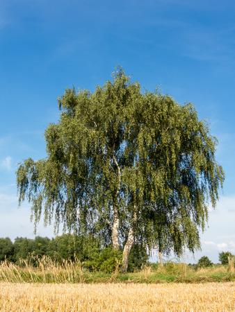 european white birch: Birch at a stubble field in summer