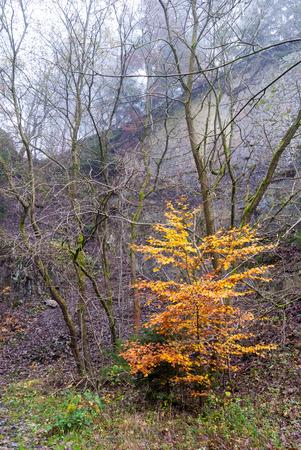 Baum mit Herbstlaub im Steinbruch bei Bromberg, Medebach, Hochsauerland