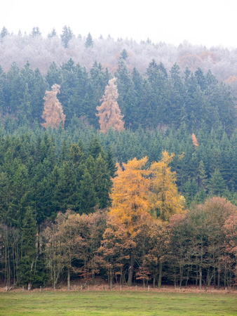 pinaceae: Larch with golden yellow needles in the pine forest in a snow shower in autumn Stock Photo