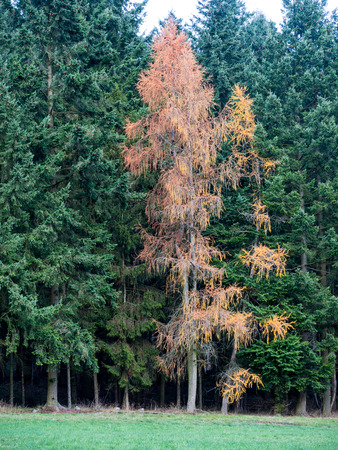 Lärche mit goldgelben Nadeln am Waldrand im Herbst