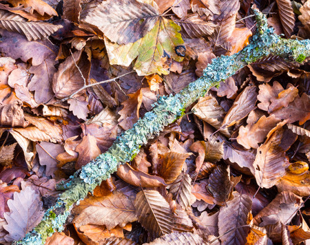 Flechte auf einem Zweig auf dem Waldboden bedeckt mit Herbst Buche und Eiche Blätter