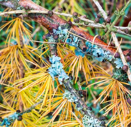 Flechten auf den Zweig einer Lärche mit Herbst-farbigen Blätter
