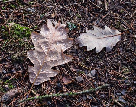 Herbsteichenblätter mit Wassertropfen auf dem Waldboden Lizenzfreie Bilder