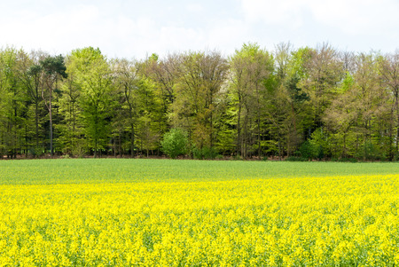 Blühender Raps, Brassica napus, auf einem Rapsfeld vor einem Wald im Frühjahr