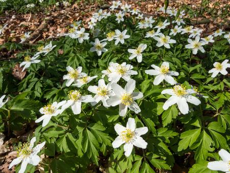 Blüten der Buschwindröschen im Frühjahr, Anemone nemorosa Standard-Bild - 39077918