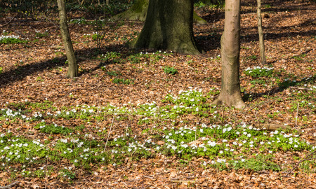 Blüten der Buschwindröschen im Frühjahr, Anemone nemorosa Standard-Bild