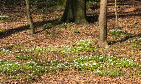 Blüten der Buschwindröschen im Frühjahr, Anemone nemorosa Lizenzfreie Bilder