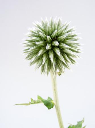 Sphärische Blütenkopf eines Kugeldistel