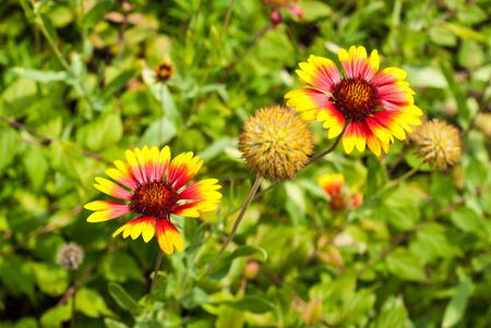 Rot-gelbe Decke Blume, Gaillardia