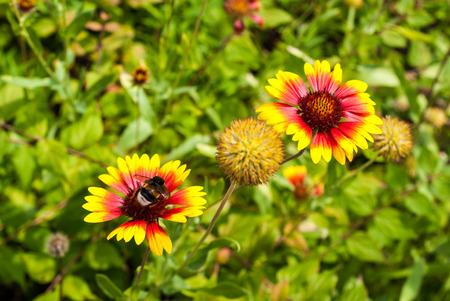bombus: Flowers of a red-yellow blanket flower, Gaillardia, with a bumblebee, Bombus