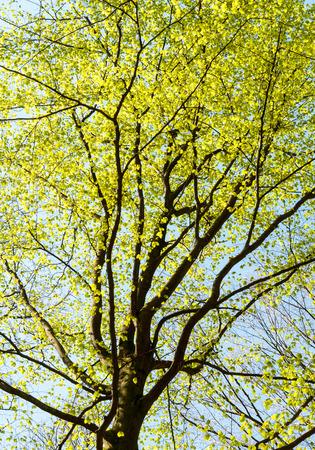 Baumkrone einer Buche mit frischen Blätter im Frühling Standard-Bild