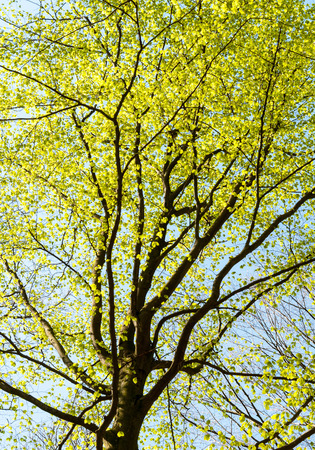 fagaceae: Treetop of a beech tree with fresh leaves in spring