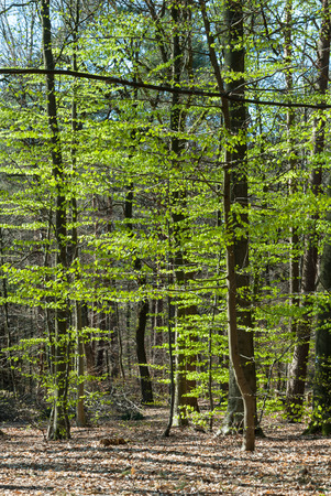 fagaceae: Forest with beeches with fresh leaves in spring