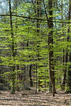 Wald mit Buchen mit frischen Blätter im Frühling