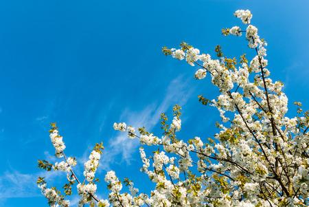 Treetop eines blühenden Süßkirsche vor blauem Himmel im Frühling