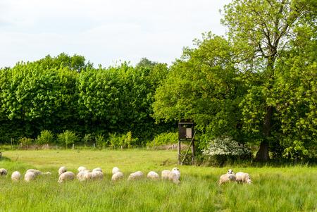Herde der Schafe in einer Wiese im Frühling