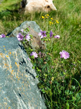 malvaceae: Blooming common mallow, Malva sylvestris, at a stone