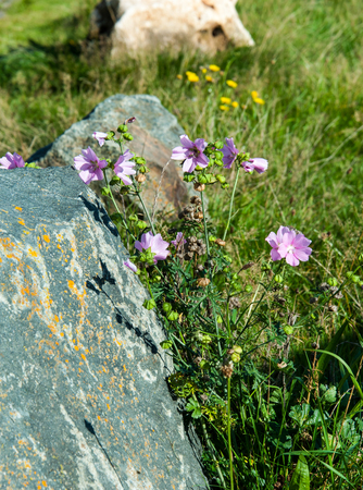 Blooming Malve, Malva sylvestris, auf einem Stein